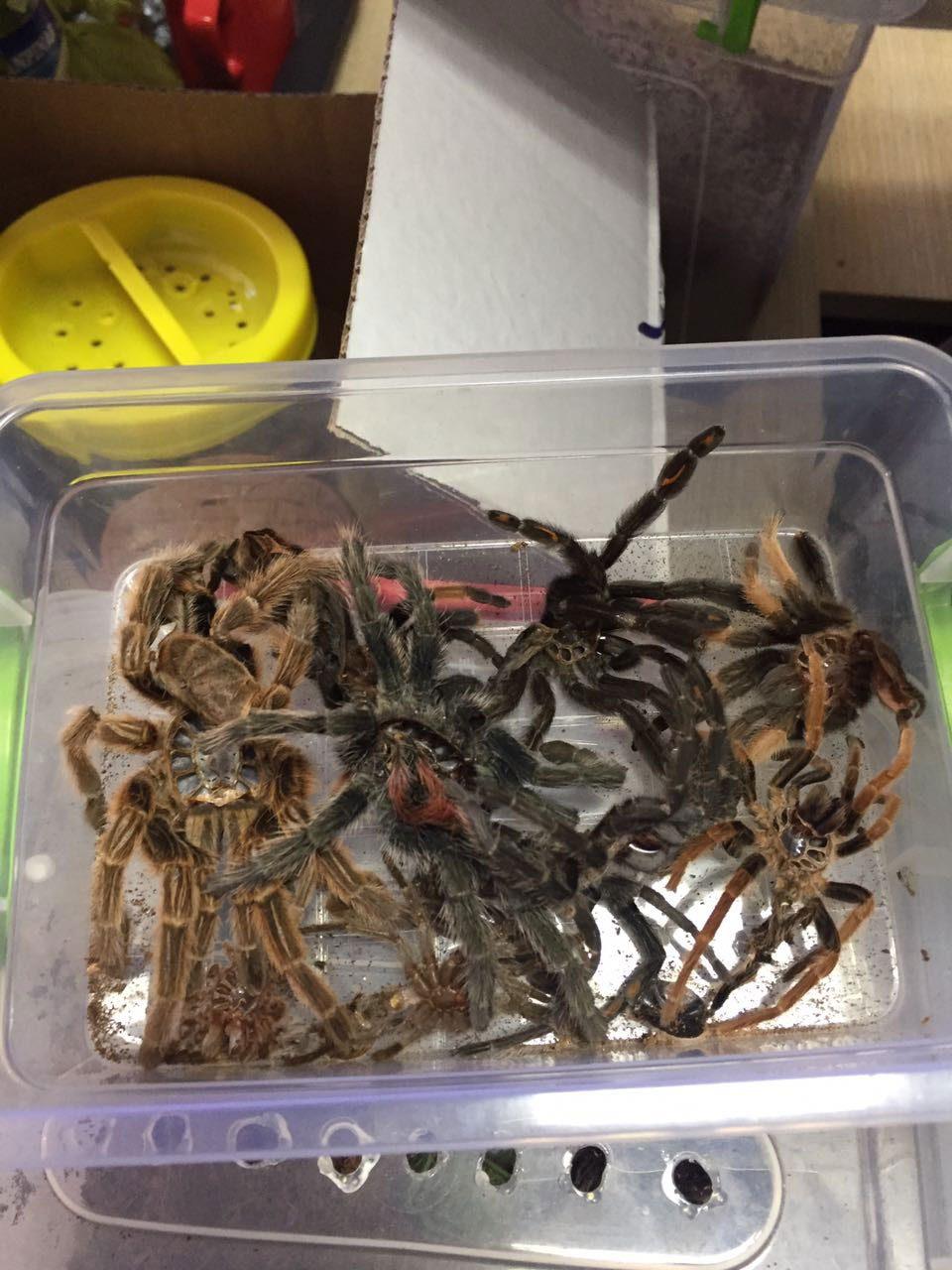 tarantula-1