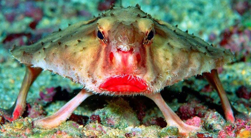 Evrimin sıra dışı canlısı: Kırmızı Dudaklı Yarasabalığı