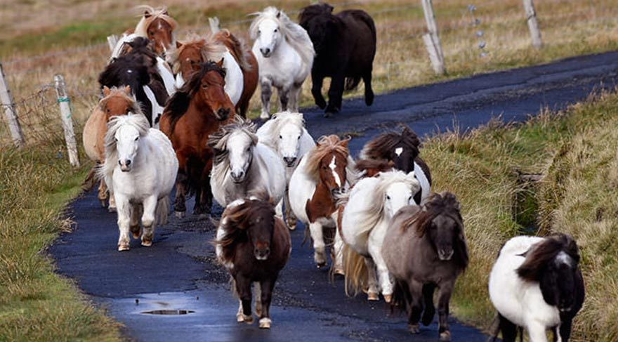 Bu adada insandan çok Midilli atı var