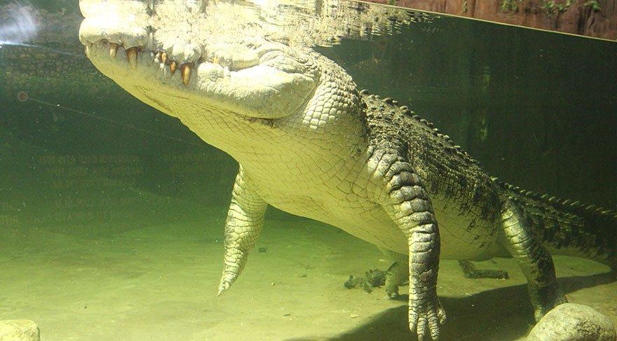5 metrelik dev timsahı su tüpüne 'hapsettiler'