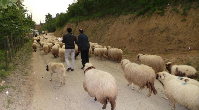 Orta Karadeniz'de yaylalara göç başladı