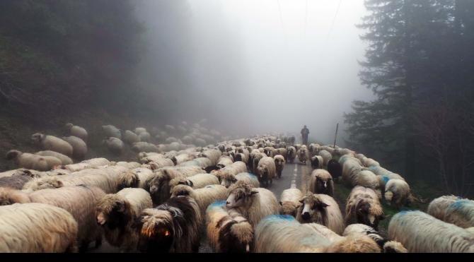Yaylada sürülere çoban bulunmuyor