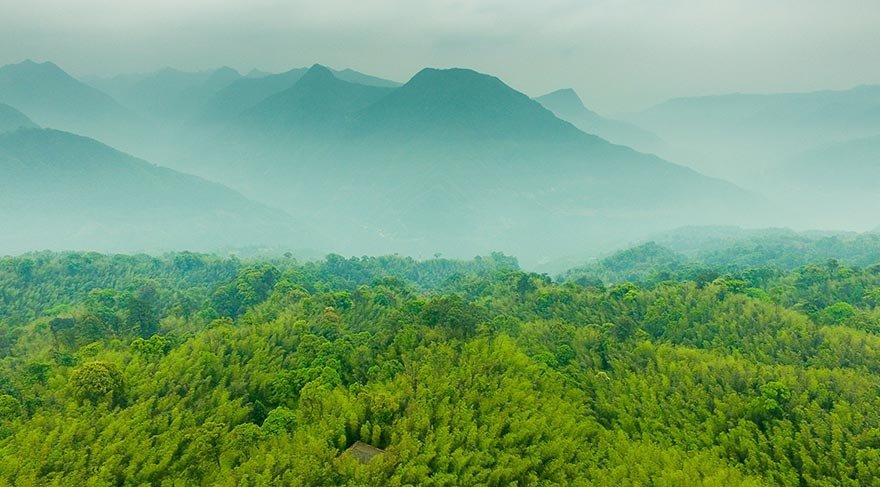Asya'nın bambu ormanları