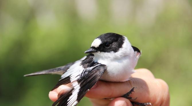 Serik'te 1500'den fazla kuş halkalandı