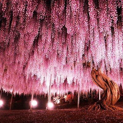 Japonya'nın 144 yaşındaki mor salkım ağacı