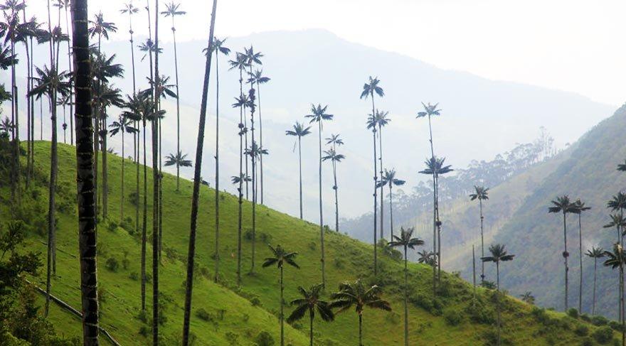 Kolombiya'nın akıl almaz uzunluktaki palmiyeleri