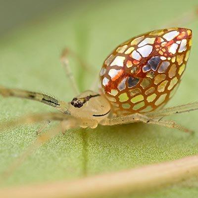 Avustralya'nın ayna örümcekleri
