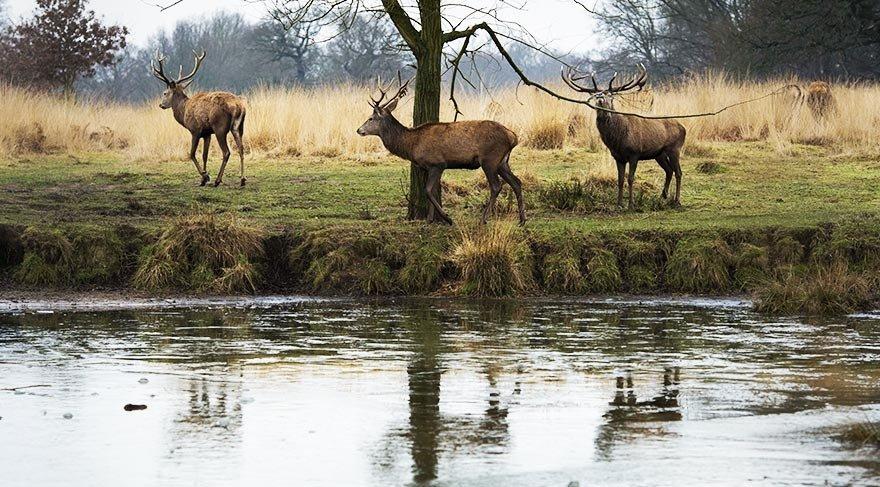 Londra'nın bakterili geyikleriyle ünlü parkı