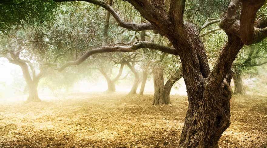 Zeytin ağacının mitolojik değeri