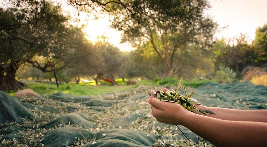 Anadolu'nun kadım ağacı zeytine dokunacaklar!