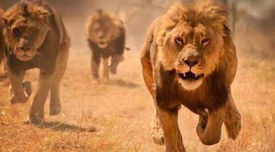 Ulusal parktan dört aslan kaçtı! Yetkililer uyarıyor