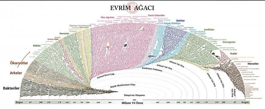 evrim_agaci_3