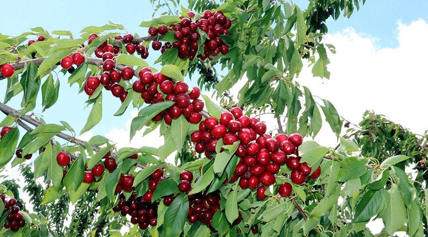 Türkiye'nin en büyük meyve bahçesinde hasat başladı