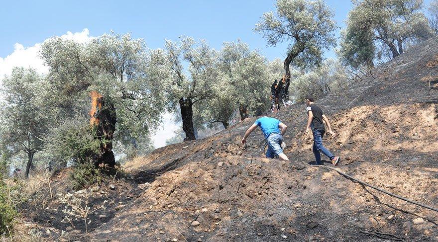 200 zeytin ağacı kül oldu