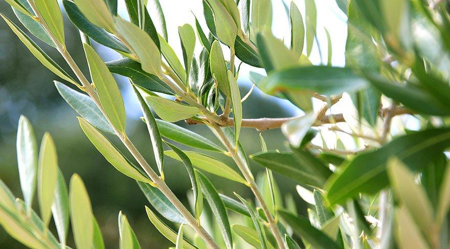 Zeytin yaprağı tatlı krizini yok ediyor