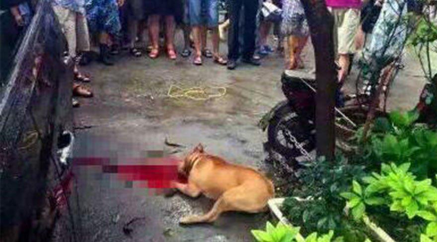 Çin'de pitbull dehşeti