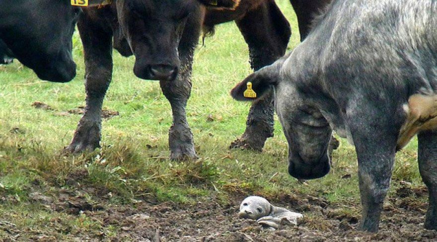30 ineğin toplanıp baktığı hayvan çok şaşırttı!