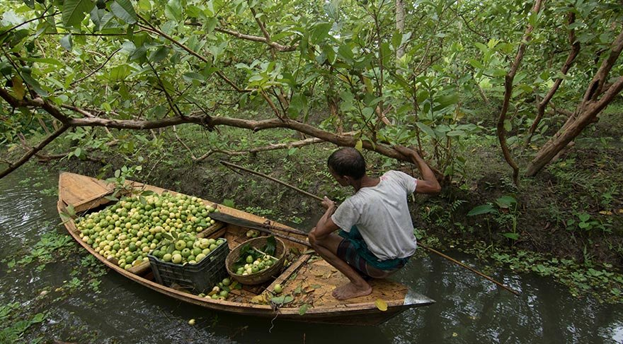 Mucize meyve guava burada üretiliyor