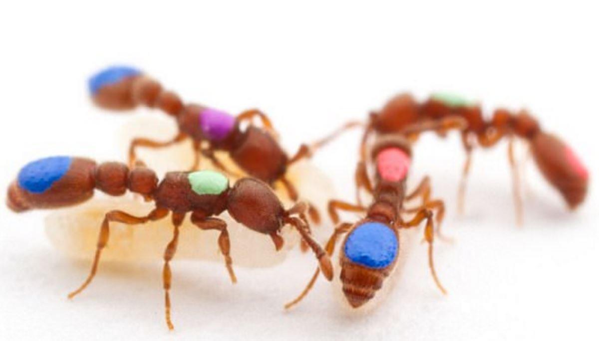 Bilim insanları CRISPR tekniğiyle ilk kez sosyal davranışları değişmiş mutant karıncalar yarattı
