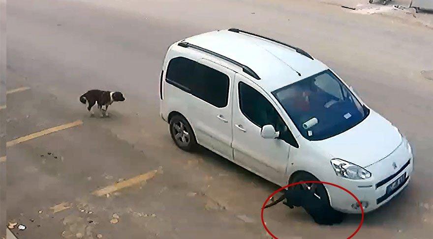 Köpeği kasıtlı olarak ezdi! İşte Türkiye'deki suçun hukuki boyutu
