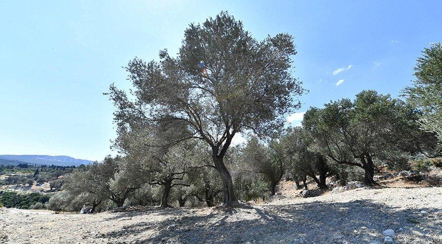 50 bin zeytin ağacı bu yöntemle kurtarıldı