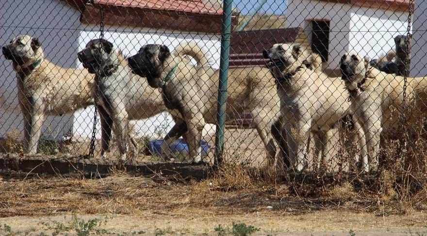Polisin yanında artık 'Kangal' köpeği olacak