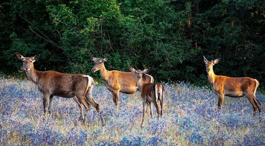 Kızıl geyik yetiştirme bölgeleri artıyor