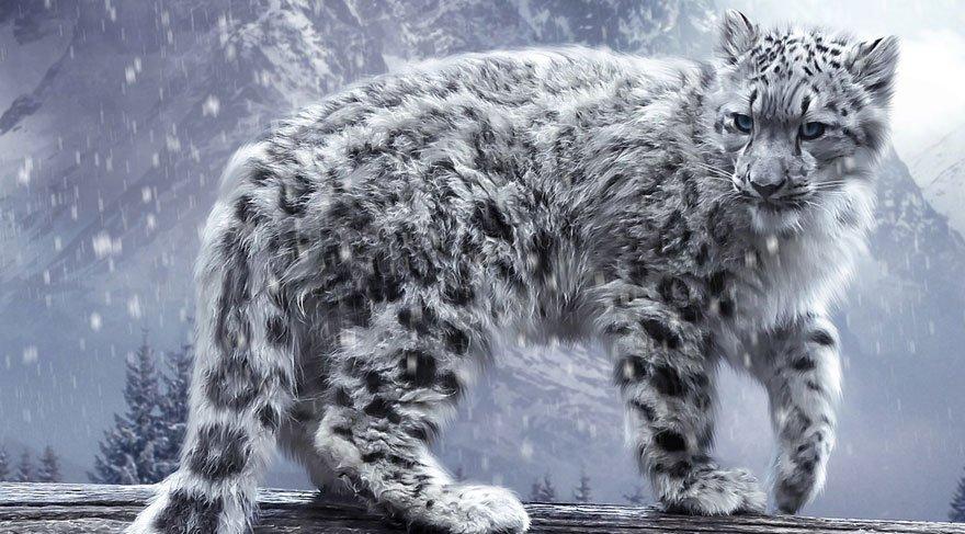 Kar leoparından 45 yıl sonra iyi haber