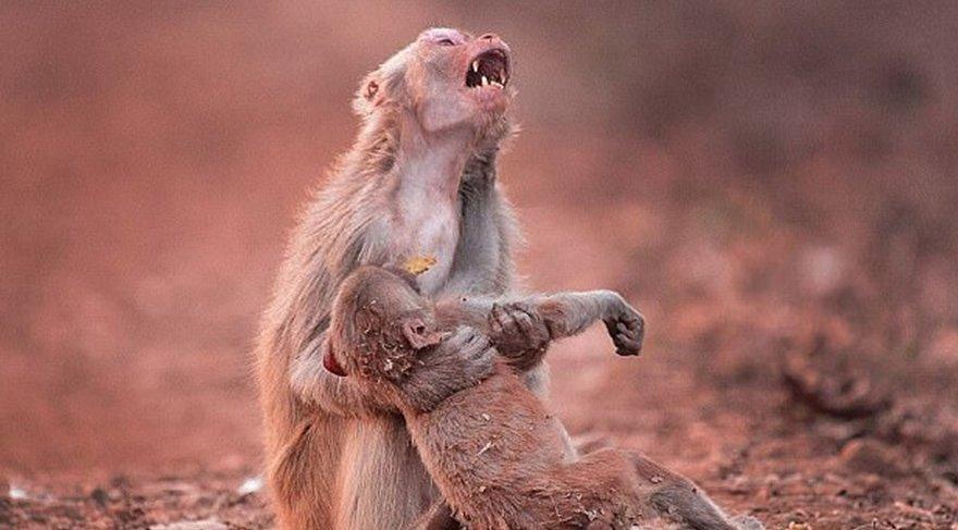 İlk kez anne makak maymununun ölü bebeğini yediği gözlemlendi