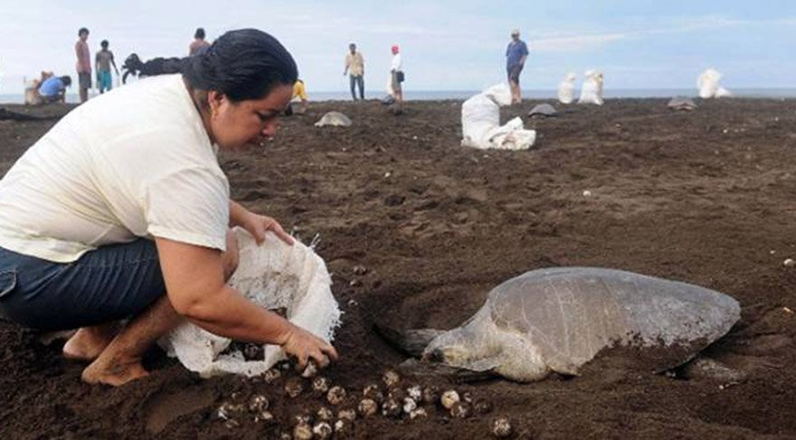 Sahte kaplumbağa yumurtaları kaçakçılığa çözüm üretecek