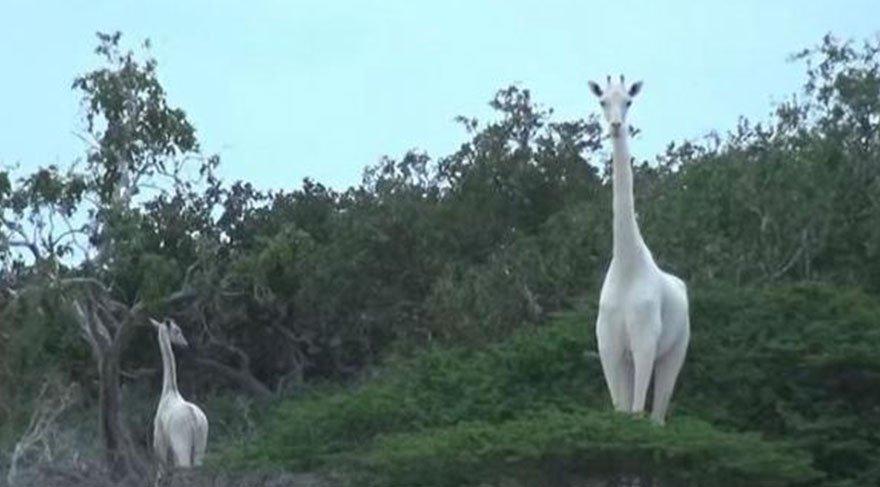 Kenya'da beyaz zürafa görüldü