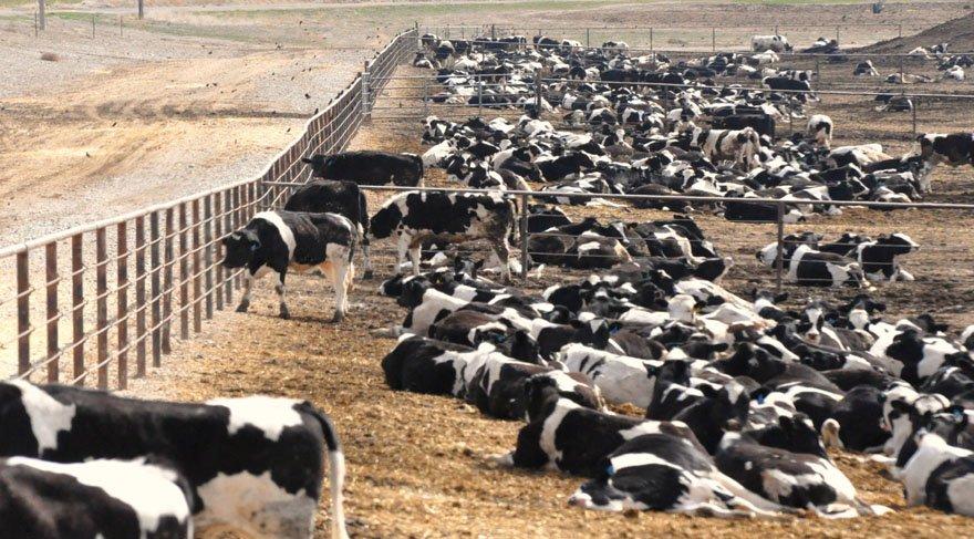Hindistan'da inek dışkısından elektrik enerjisi üretildi