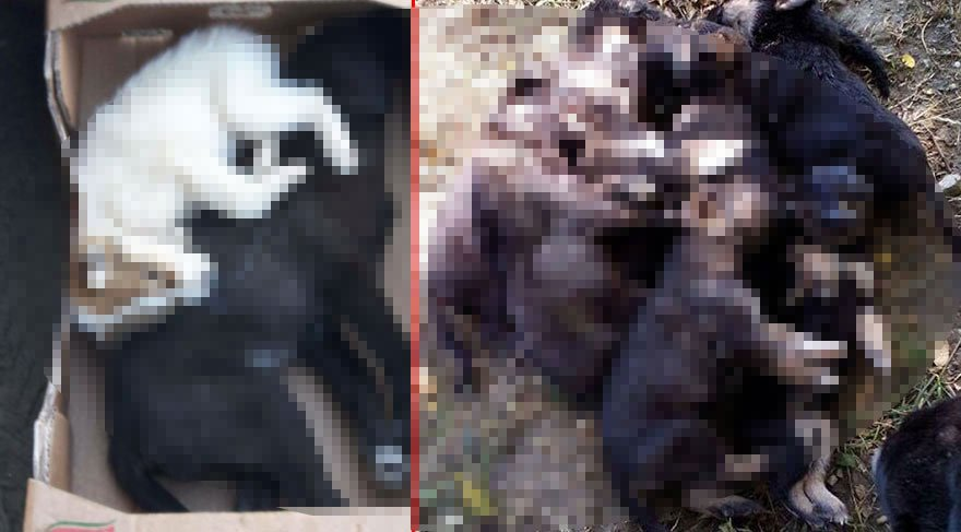 İstanbul'dan korkunç görüntüler! 300 köpek ormanda ölü bulundu