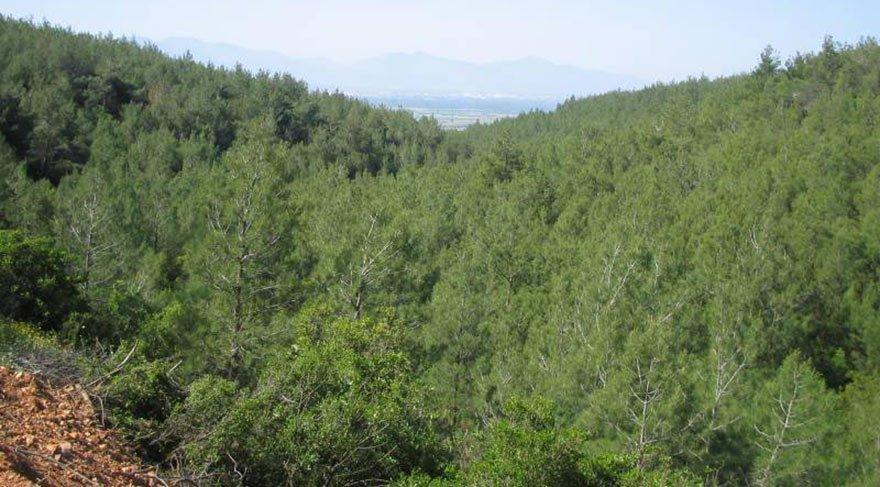 Çaldağı'nda ağaç kesimine Danıştay'dan fren