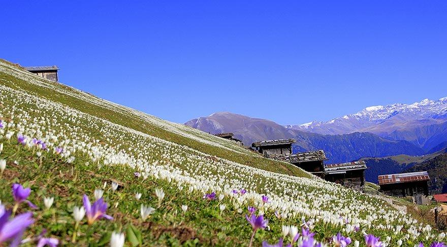"""Doğu Karadeniz """"Vargit"""" çiçekleri ile beyaza büründü"""