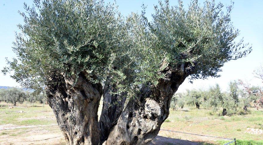 Otoyol inşaatından kurtarılan 800 ve 1200 yıllık iki ağaç, zeytin verdi