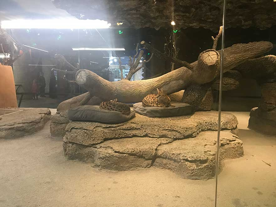 ankarada-serval-kedi-tartismasi