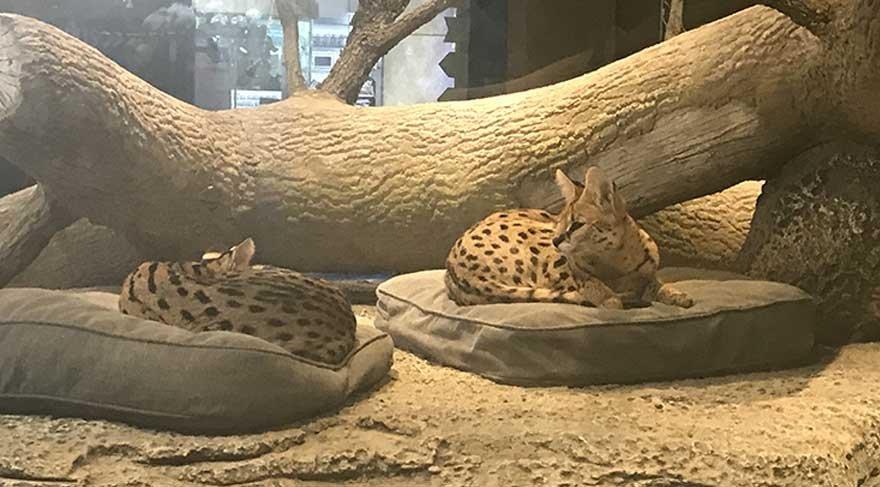 Ankara'da 'Serval Kedi' tartışması