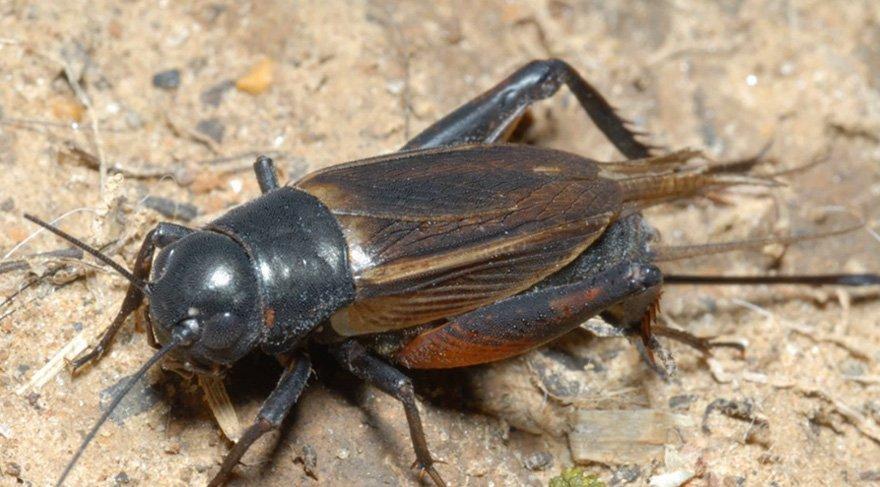 Pes! Cırcırböceği tozundan ekmek üretildi!