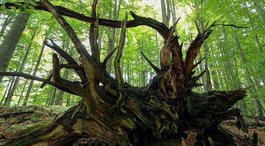 65 yıllık kayın ormanı