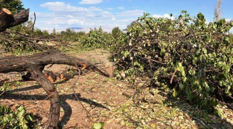 Malatya'da üretici 2 milyon kayısı ağacını kesti