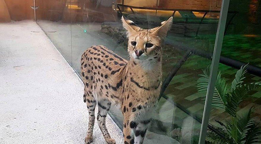 Serval kedisini cam bölmede sergileyen ve Ankara'da bulunan bir AVM tepki çekti