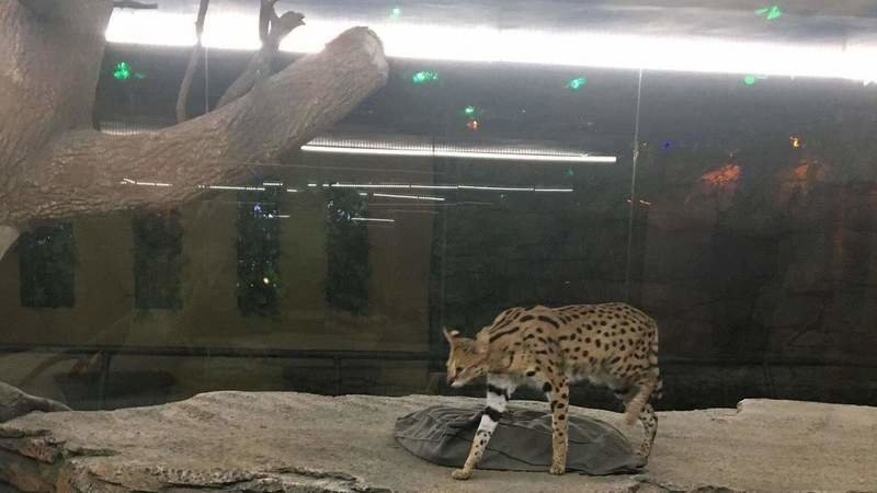 serval-ic