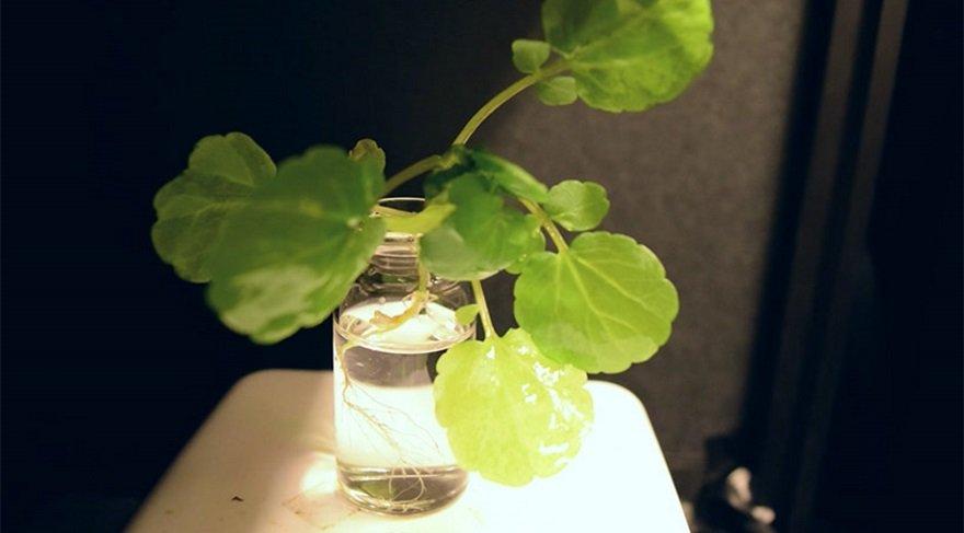 sozcu-lamba-yerine-parlayan-bitki-2
