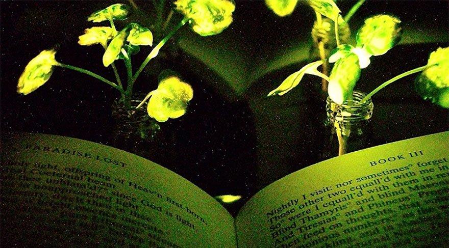 Bu parlayan bitkiler varken masa lambasına gerek kalmayacak