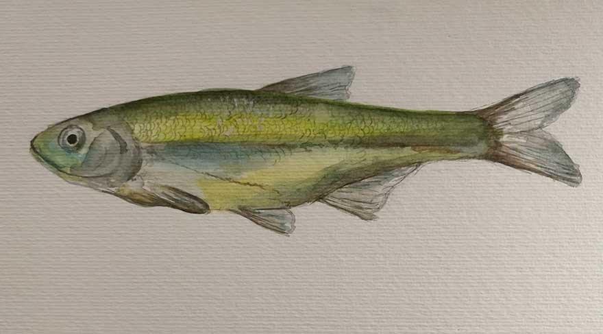 Konya Havzası'ndaki 15 balık türü yok olma tehlikesiyle karşı karşıya