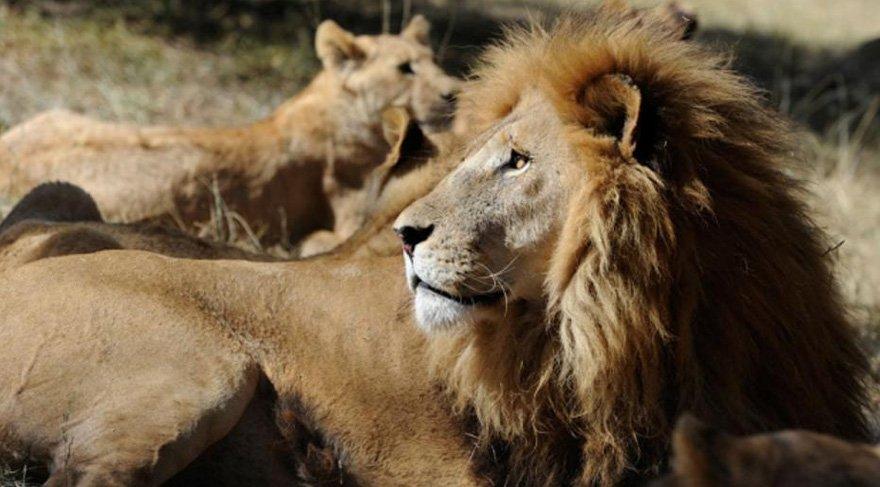 Kaçak avcıyı avlamak istediği aslanlar yedi!