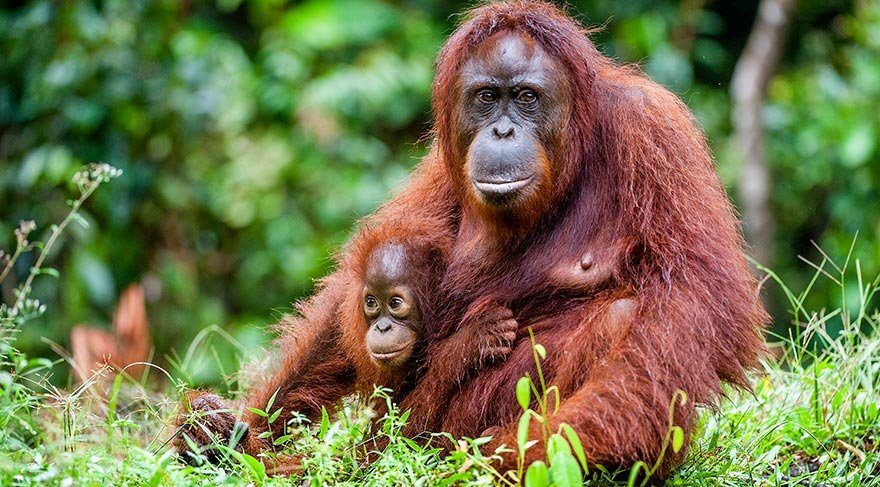 Sumatra orangutanları için 9 yapay ada oluşturuldu