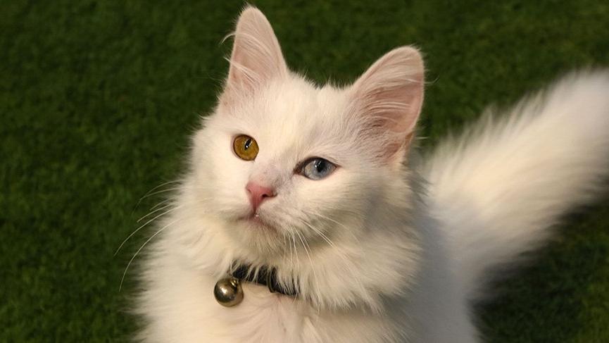 Van kedileri podyuma hazırlanıyor