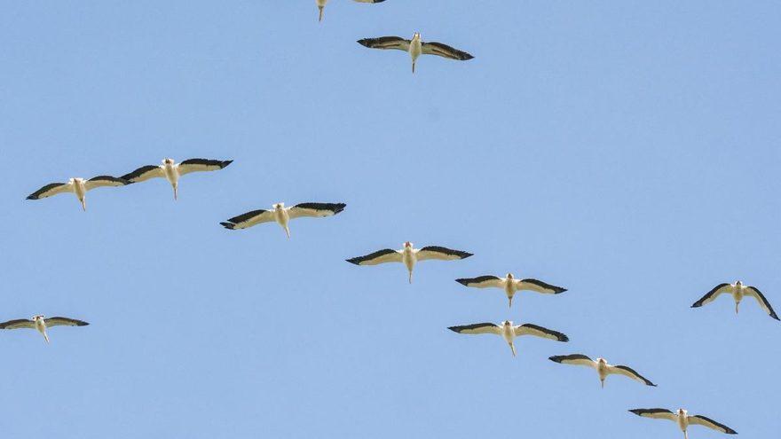 Ak pelikanların dinlenme alanı keşfedildi